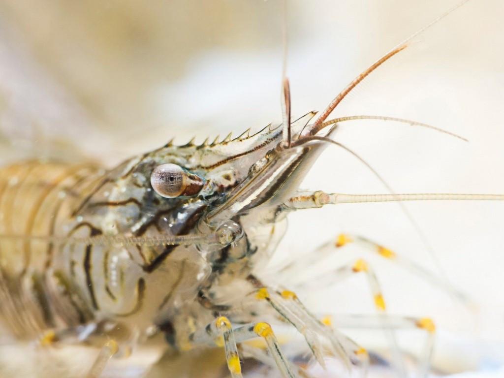 «Острая креветка». (Фото: Paul Colley)