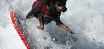Соревнования собак-серферов в Калифорнии.