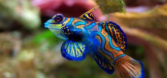 Рыбка – мандаринка