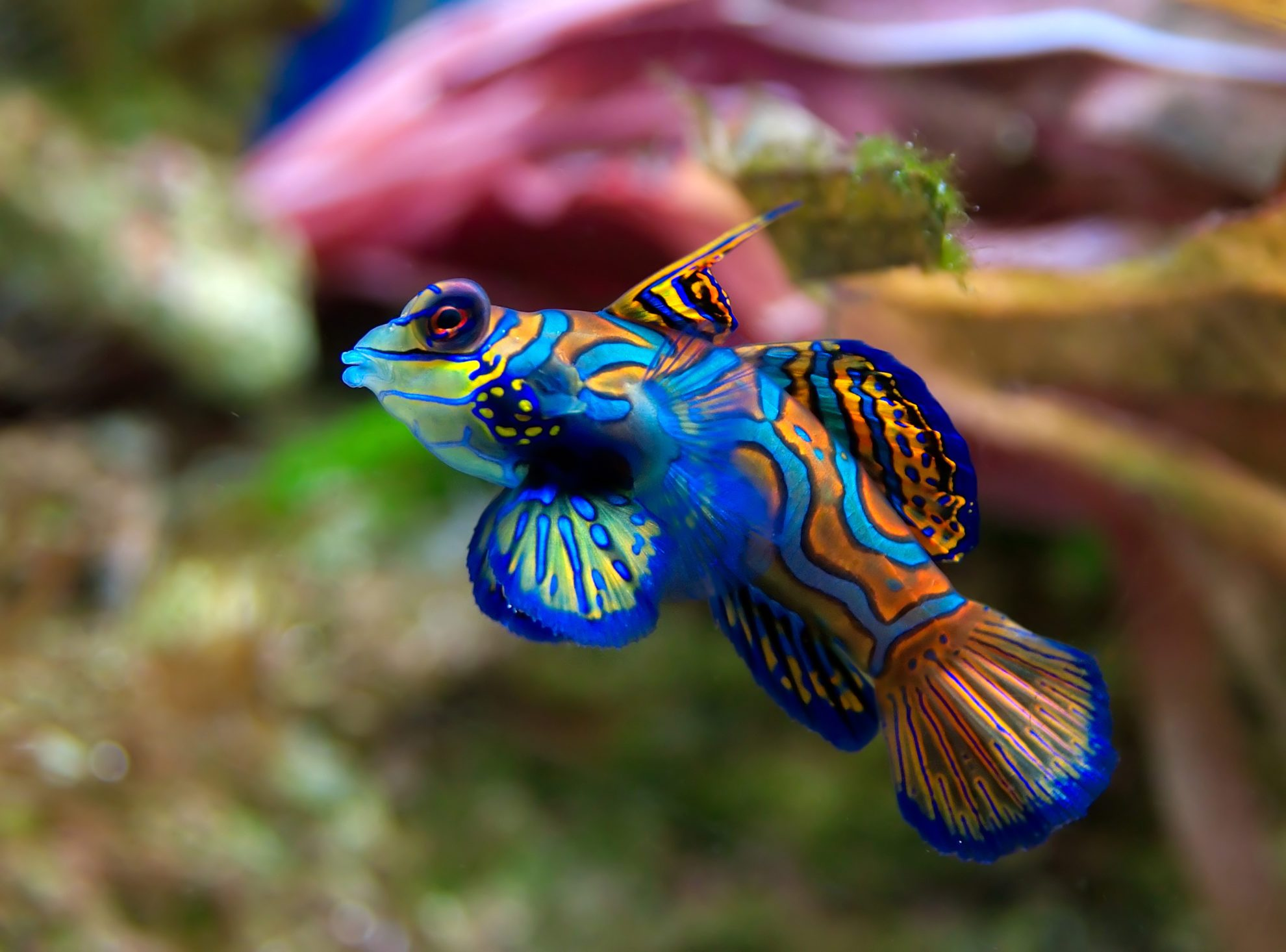 Рыбка мандаринка у острова Бора Бора.