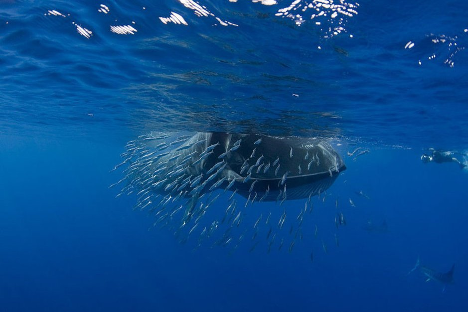The-Humpback-whale-hunting-sardines-2