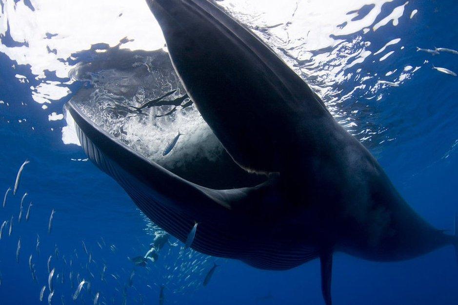 The-Humpback-whale-hunting-sardines-3