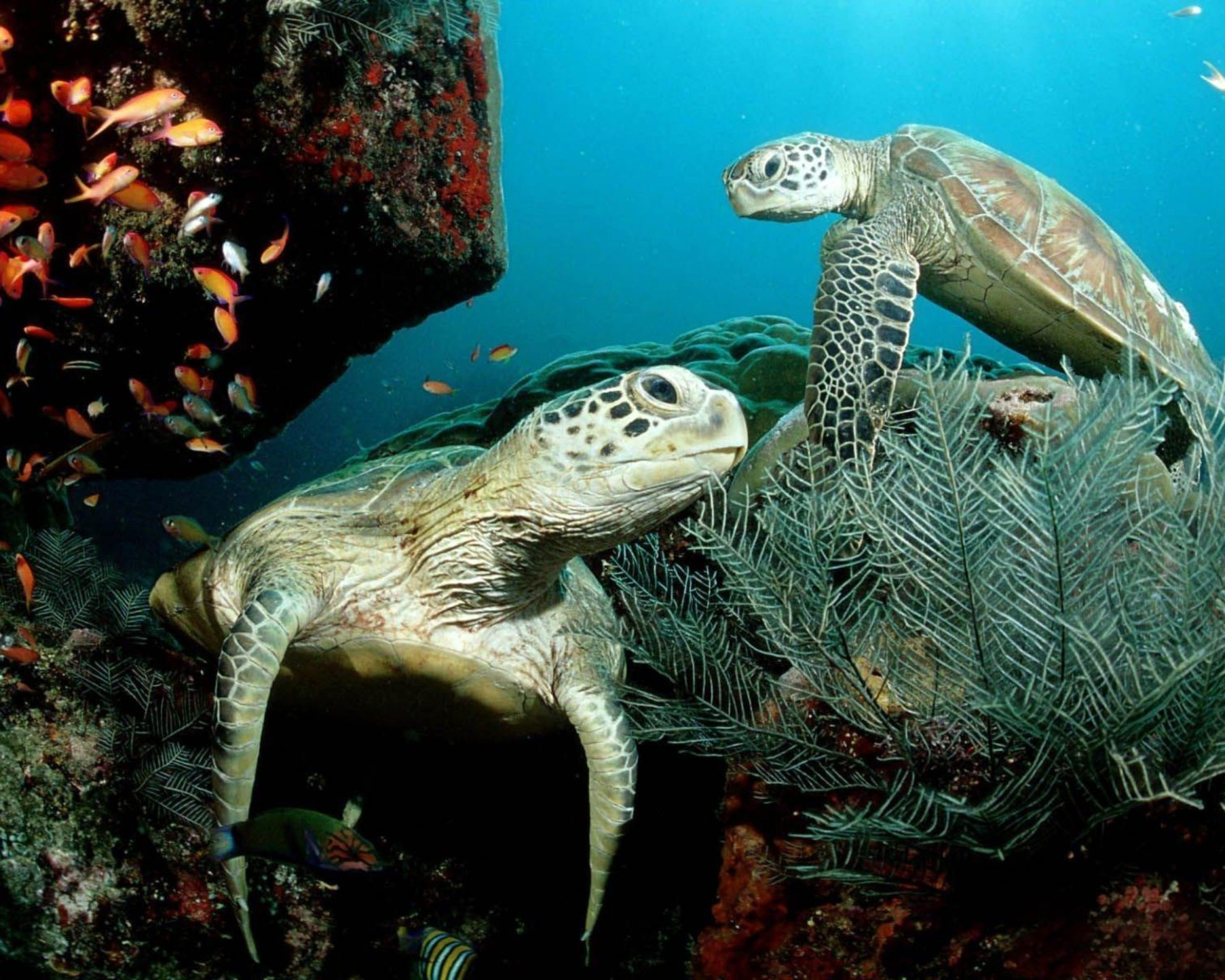Two-Green-Sea-Turtle-2048x2560