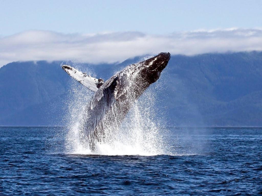 Выпрыгнувший на поверхность серый кит