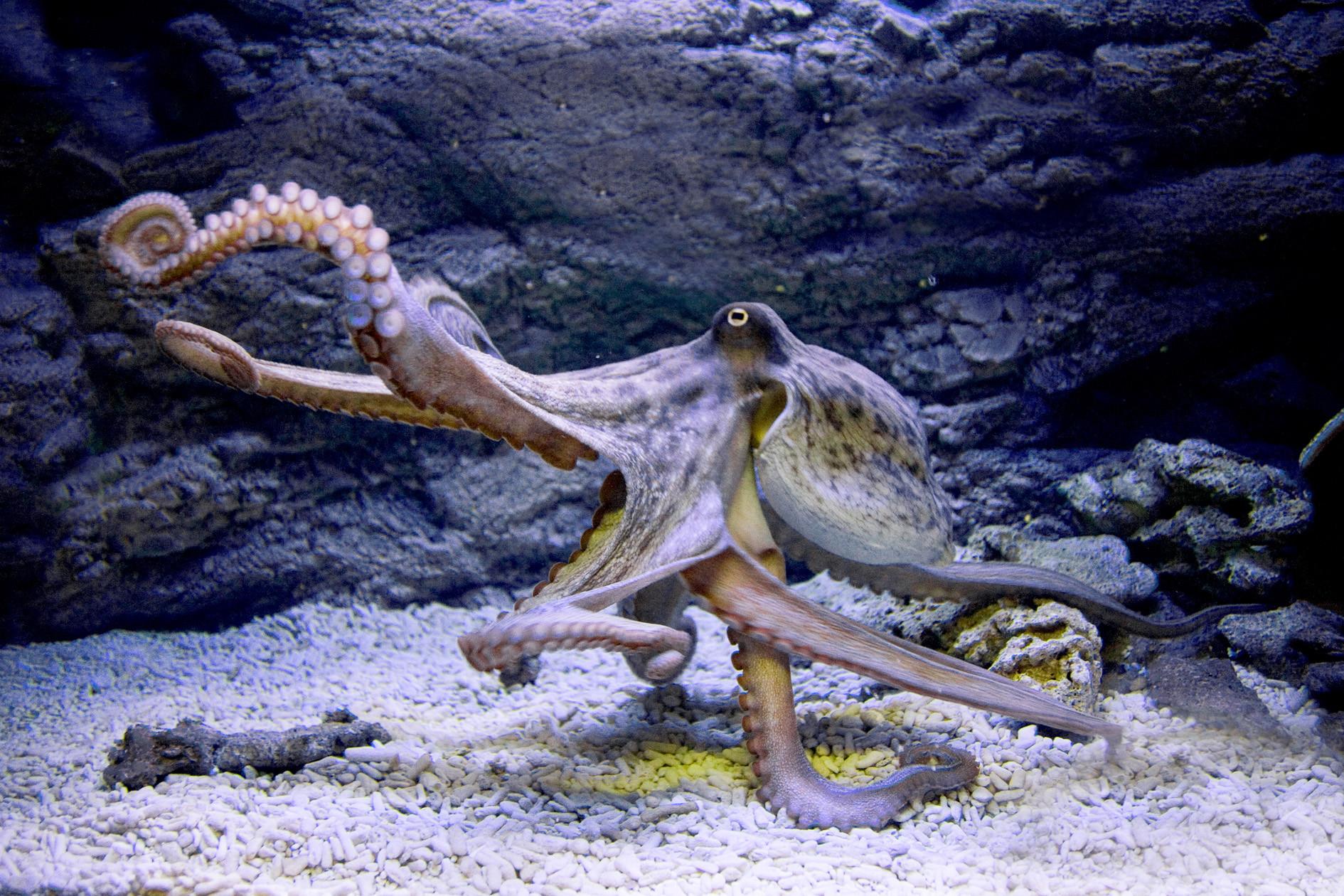 Осьминого в аквариуме