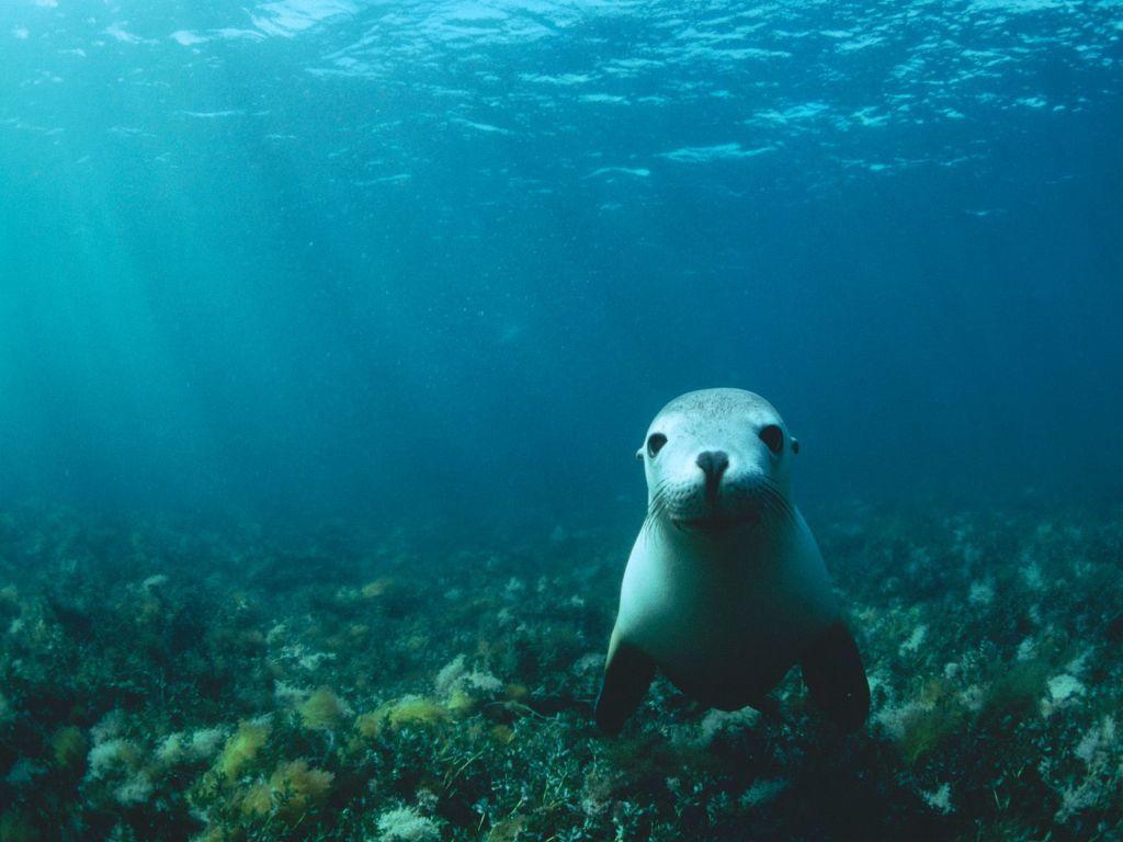 В воде морские котики чувствуют себя совершенно уверено.