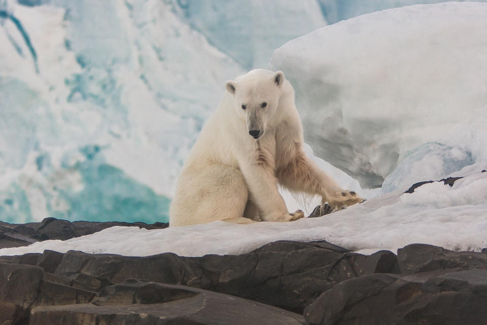 Белый медведь. Остров Рудольфа. Фото - Н. Гернет