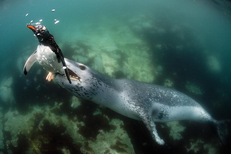 Иногда жертвами морских котиков становятся пингвины.