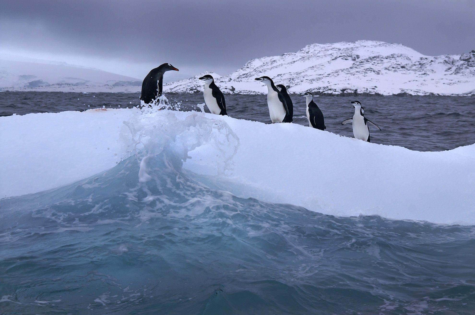 Пингвины на дрейфующей льдине. Photo by Scott Canon/Kansas City Star/MCT via Getty