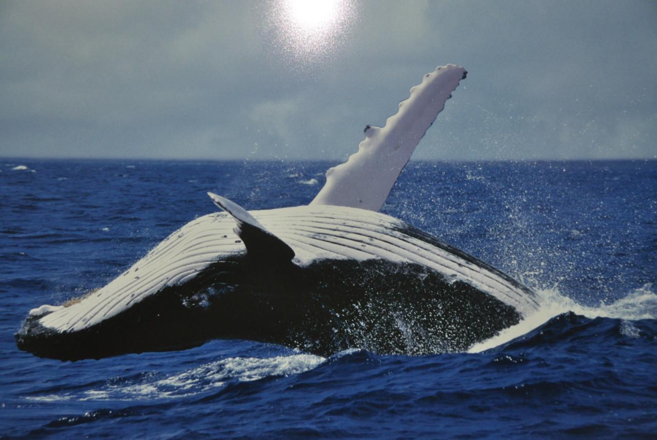 Полосатиковый кит в водах Южного Океана