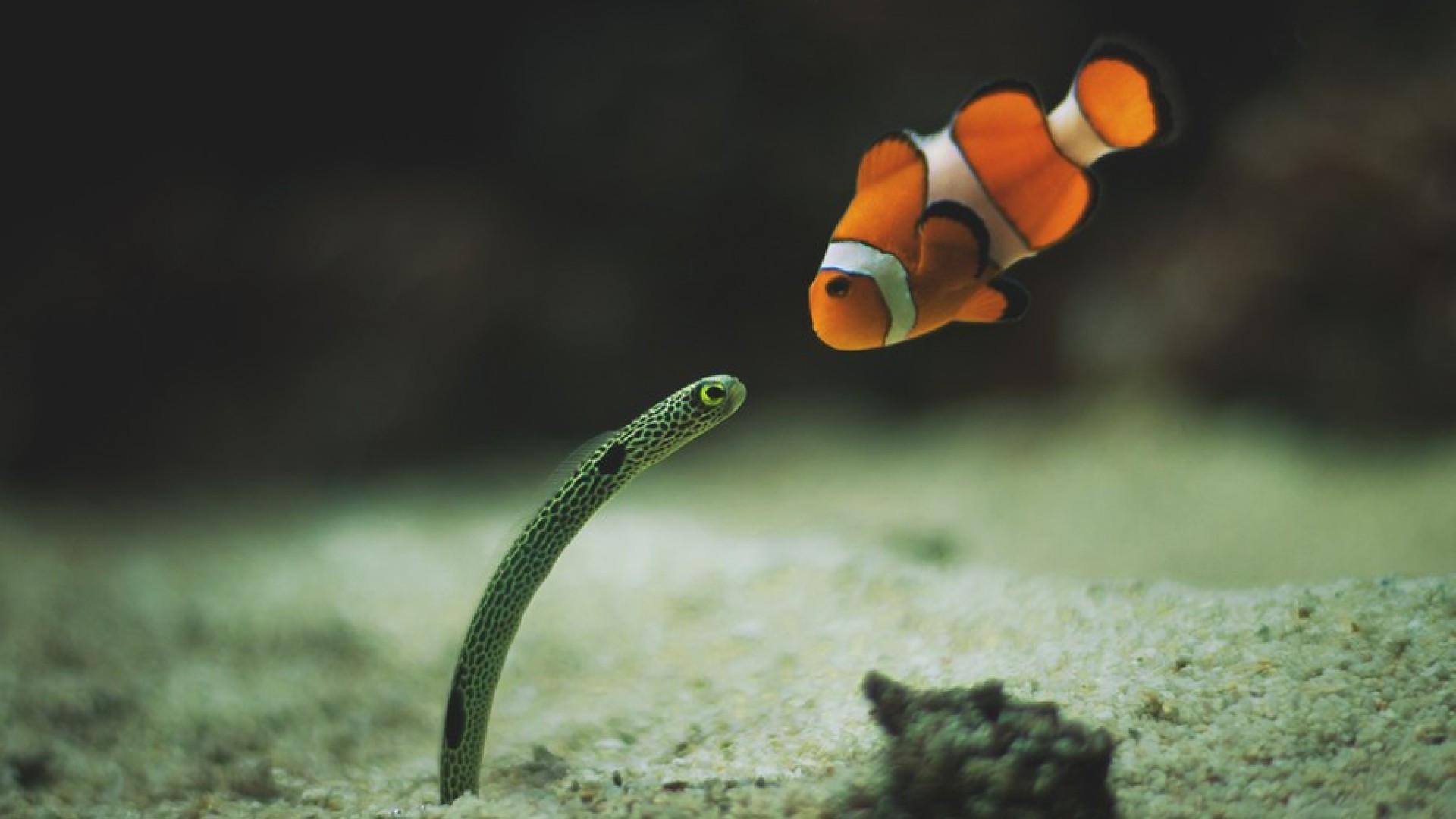 Садовый угорь и рыба-клоун.