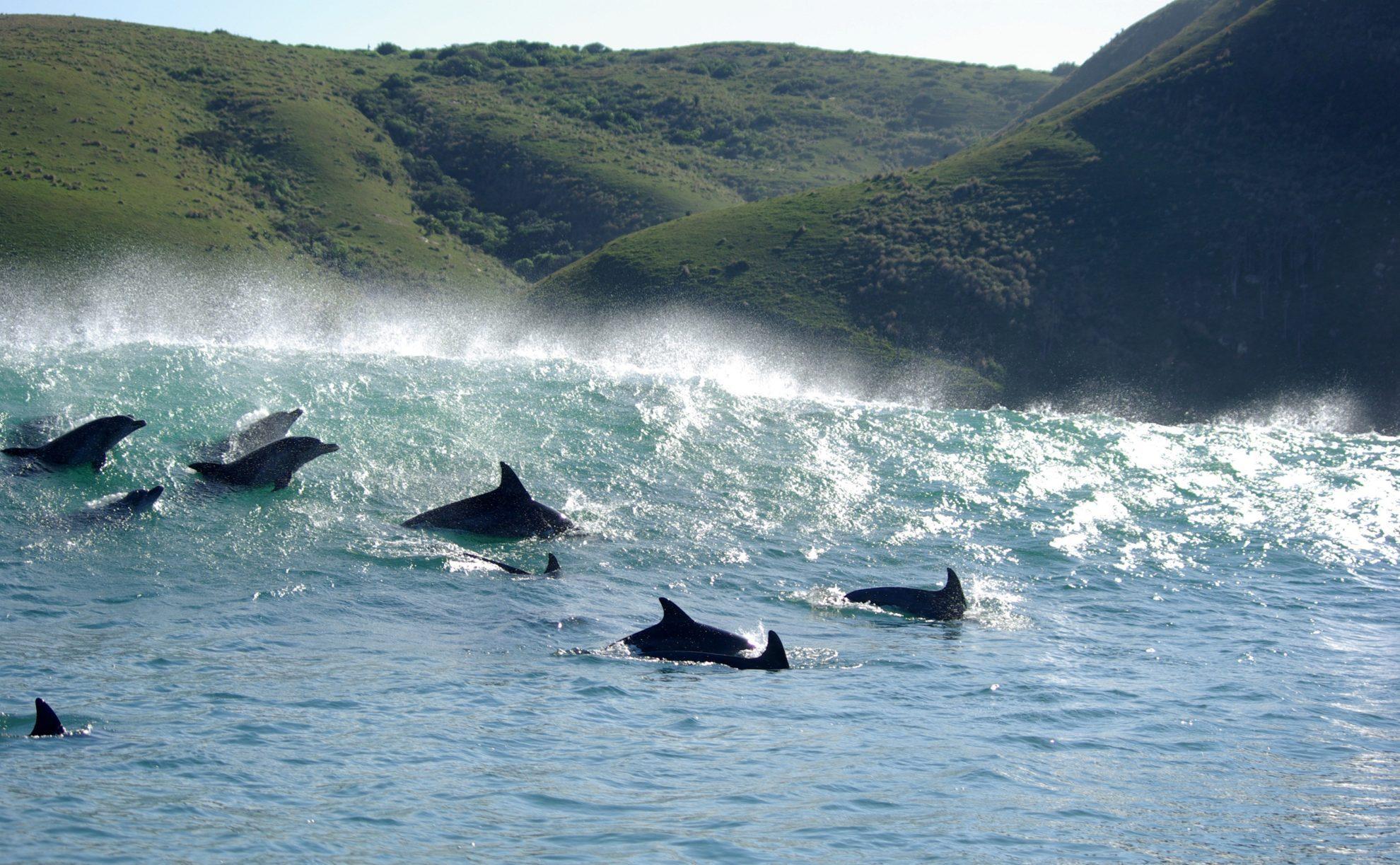 Дельфины  атакуют косяк сардин.