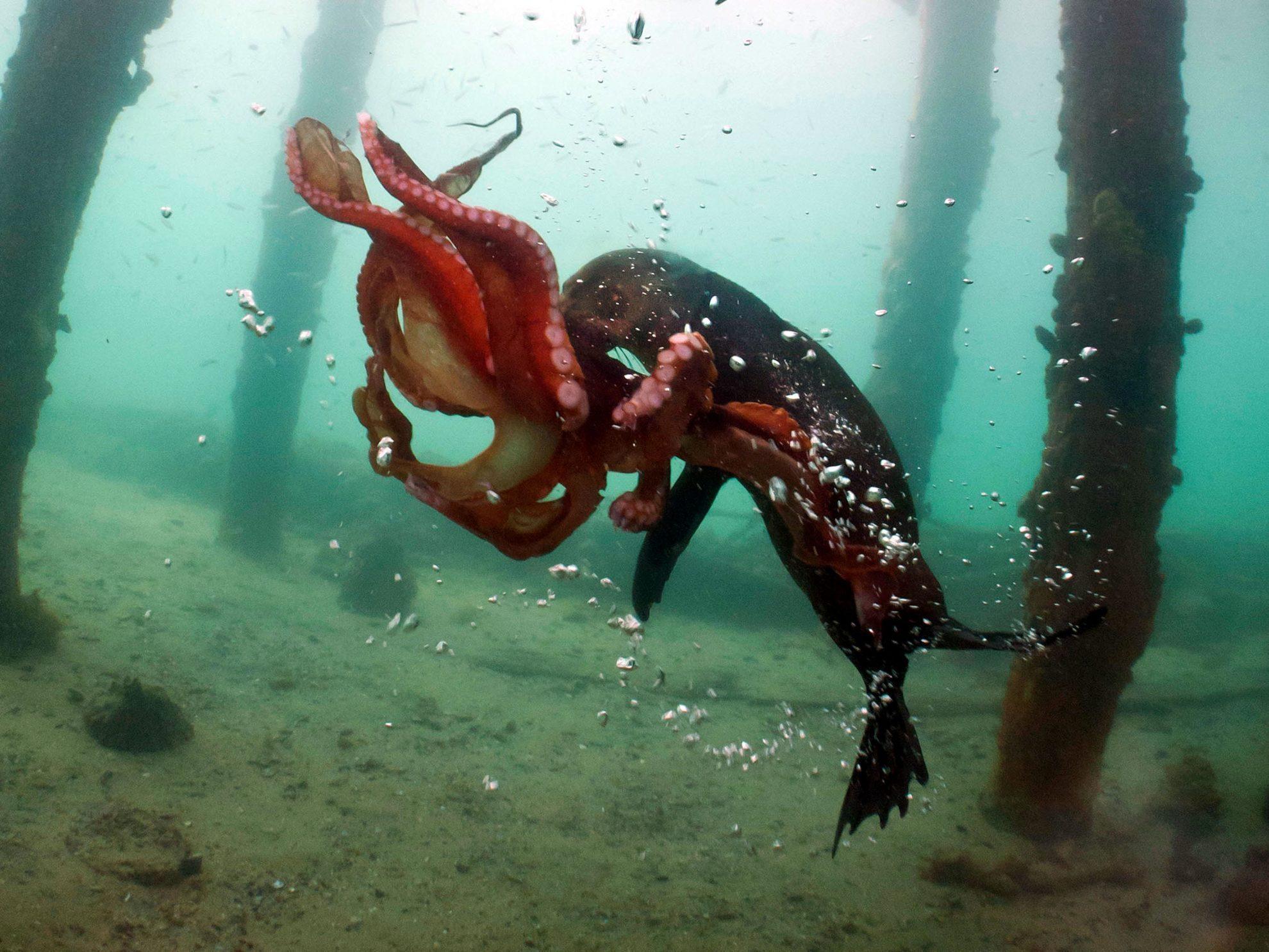 Морской котик борется с осьминогом.