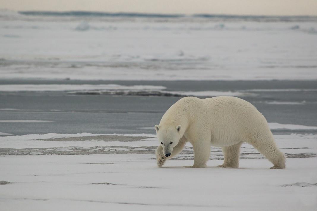 Белый медведь, о. Хейса, ЗФИ. Фото - Н. Гернет