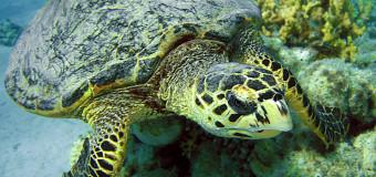 Бисса – морская черепаха