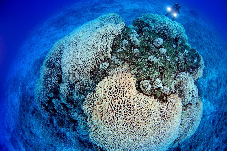 Гигантский коралл у острова Хендерсон (Питкерн) Фото:  Энрик Сала -  морской эколог