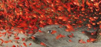 Красные и серые кардиналы океана.