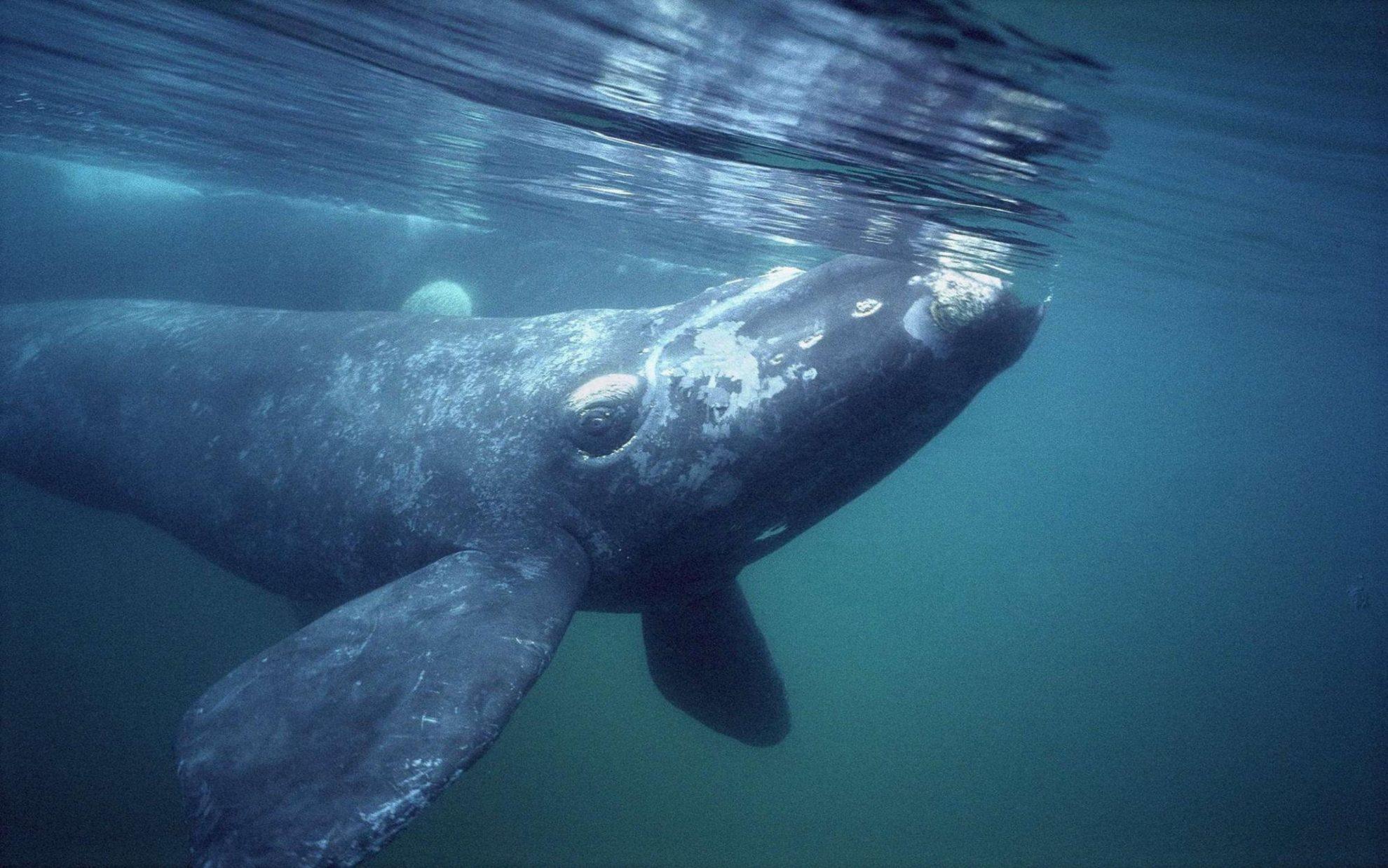 Гренландский, или полярный кит (Bowhead Whale) - Baleana mysticetus.