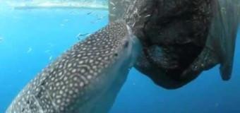 Китовая акула и рыболовная сеть..