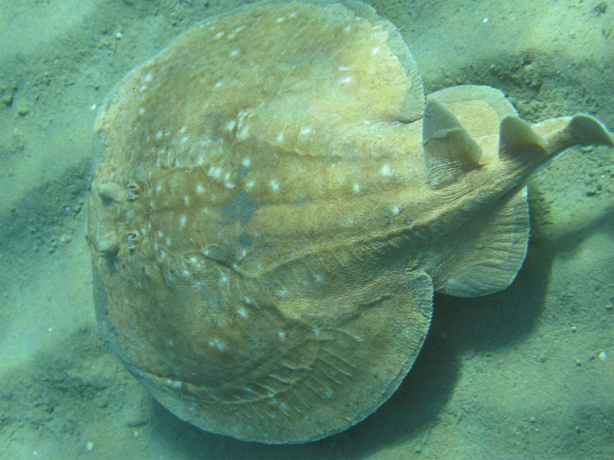 scat-torpedo