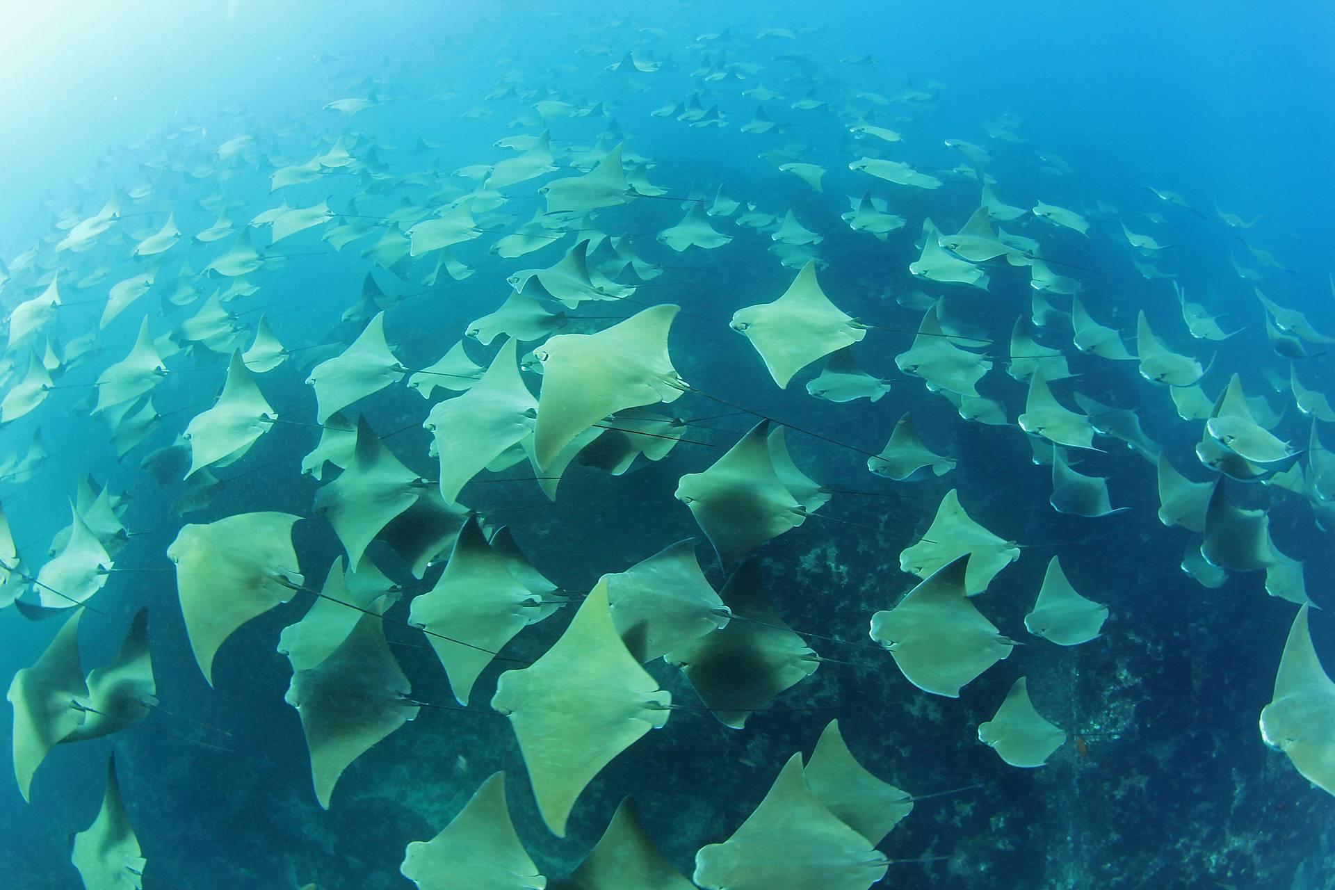 Миграция скатов в океане