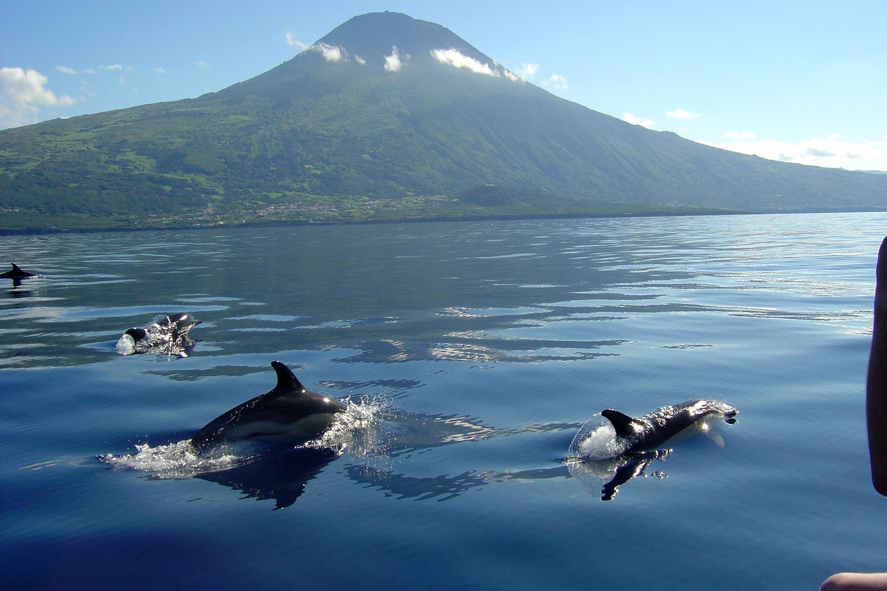 Стая дельфинов у острова Пику.