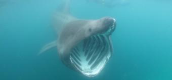 Видео: Поймана огромная доисторическая акула.