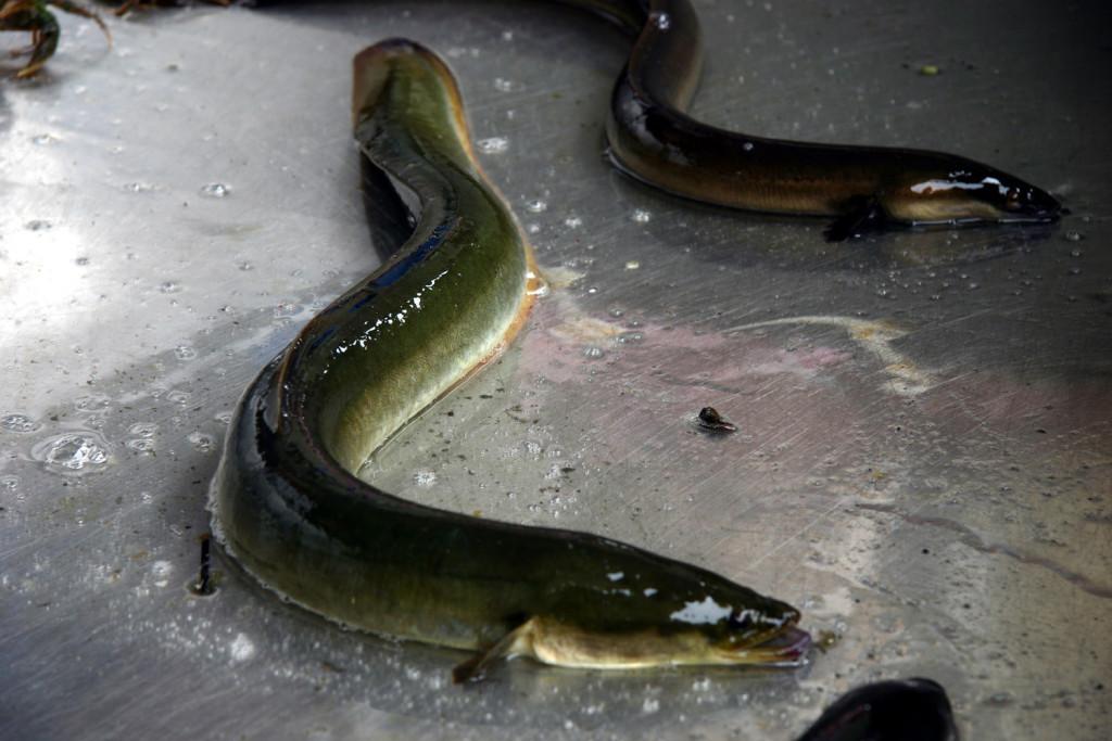 Американский угорь (American eel)