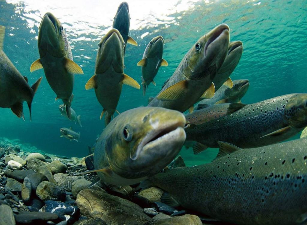 Атлантический лосось идущий на нерест