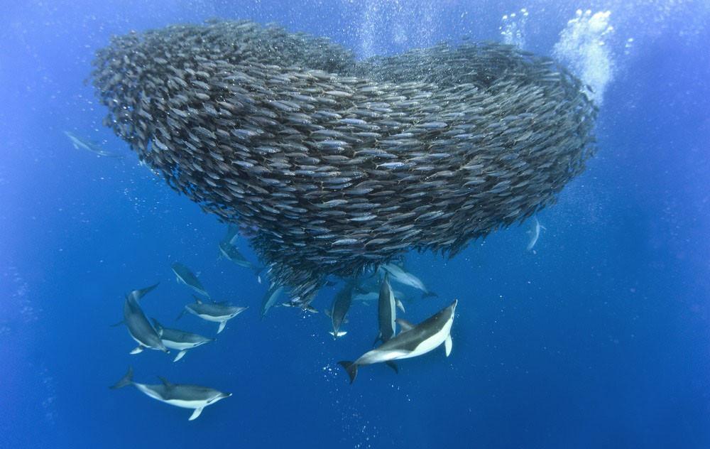 Британский фотограф Кристофер Свэн (Christopher Swann) запечетлил увлекательное подводное действо — акулы и дельфины охотятся на стаю скумбрий у Азорских острово.