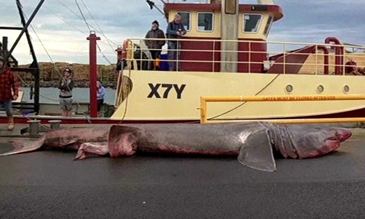 Рыболовецкий траулер случайно выловил гигантскую акулу