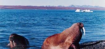 Льды уходят, моржи приходят
