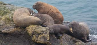 На мысе Желания нашествие моржей