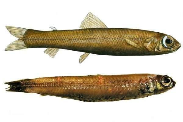 Рыба новая