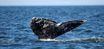 Что ждет серых китов?