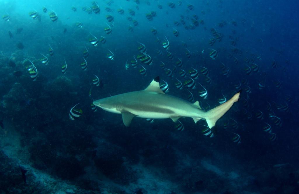 Подводные обитатели архипелага Палау: барракуды, черепахи с неразлучными прилипалами и королевы здешней фауны - грозные акулы