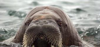 WWF нашел главную «столовую» атлантических моржей