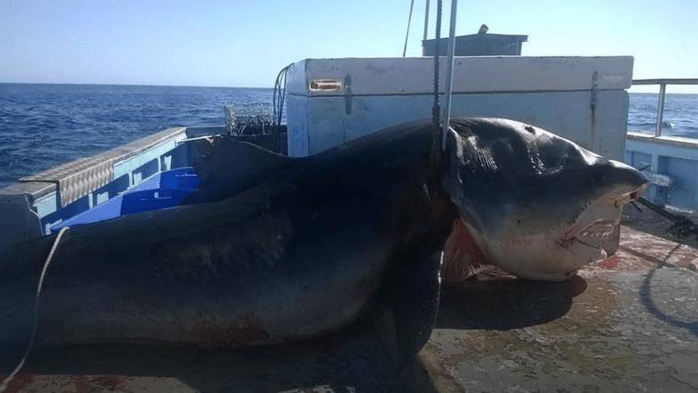 Гигантскую 6-метровою тигровую акулу поймали рыбаки у берегов Австралии, сообщает Daily Mail.