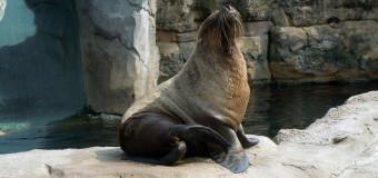 Госдума планирует лишать свободы за незаконный вылов морских котиков