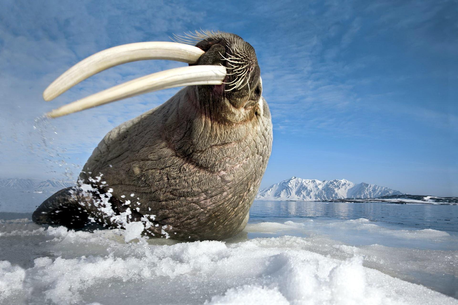 фото моржа