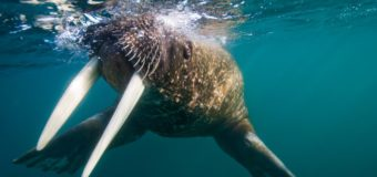 5 удивительных фактов про моржей