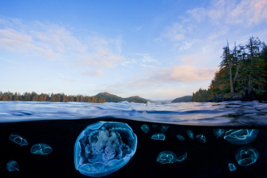 медузы крестовики не смертельно опасны для человека