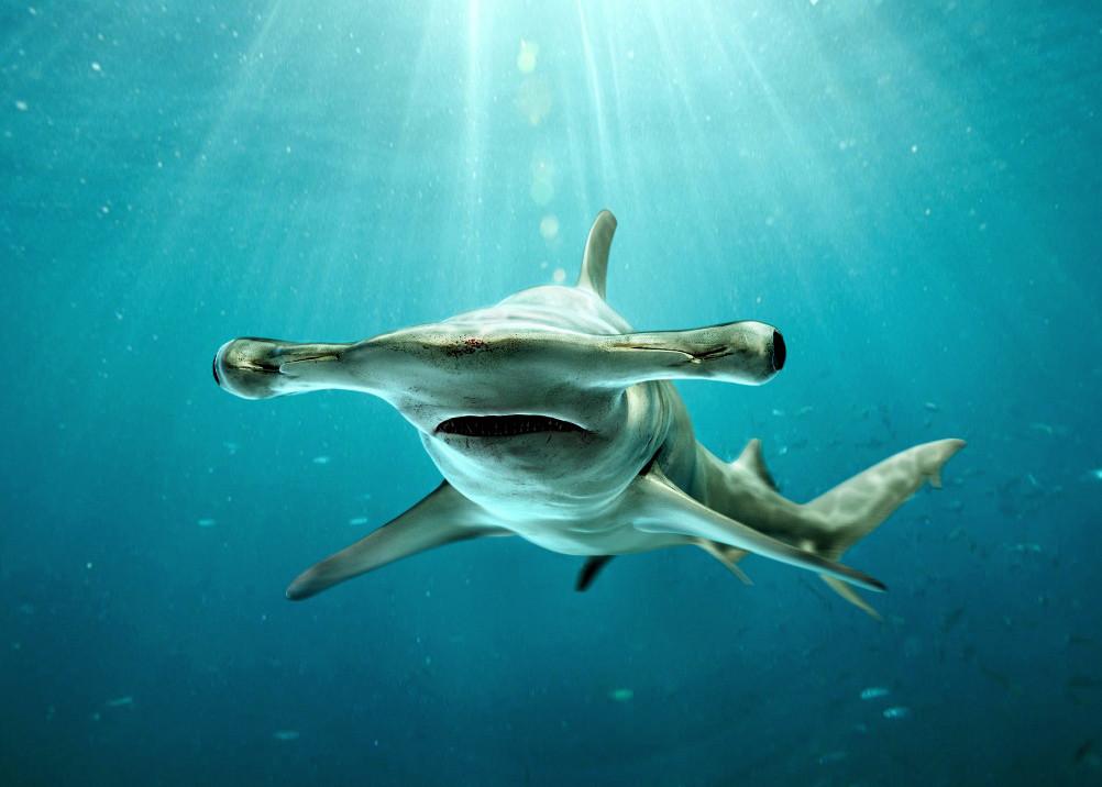 Акула-молот плавает на боку