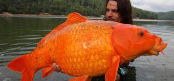 """Новое прочтение """"Сказки о Золотой рыбке"""" экологами Австралии."""