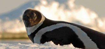 Редкий полосатый тюлень был обнаружен в штате Вашингтон