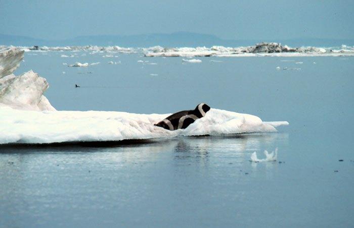 Полосатого тюленя обнаружили в штате Вашингтон