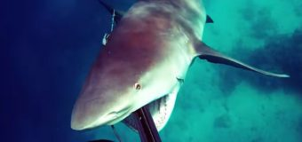 Тупорылая акула напала на дайвера