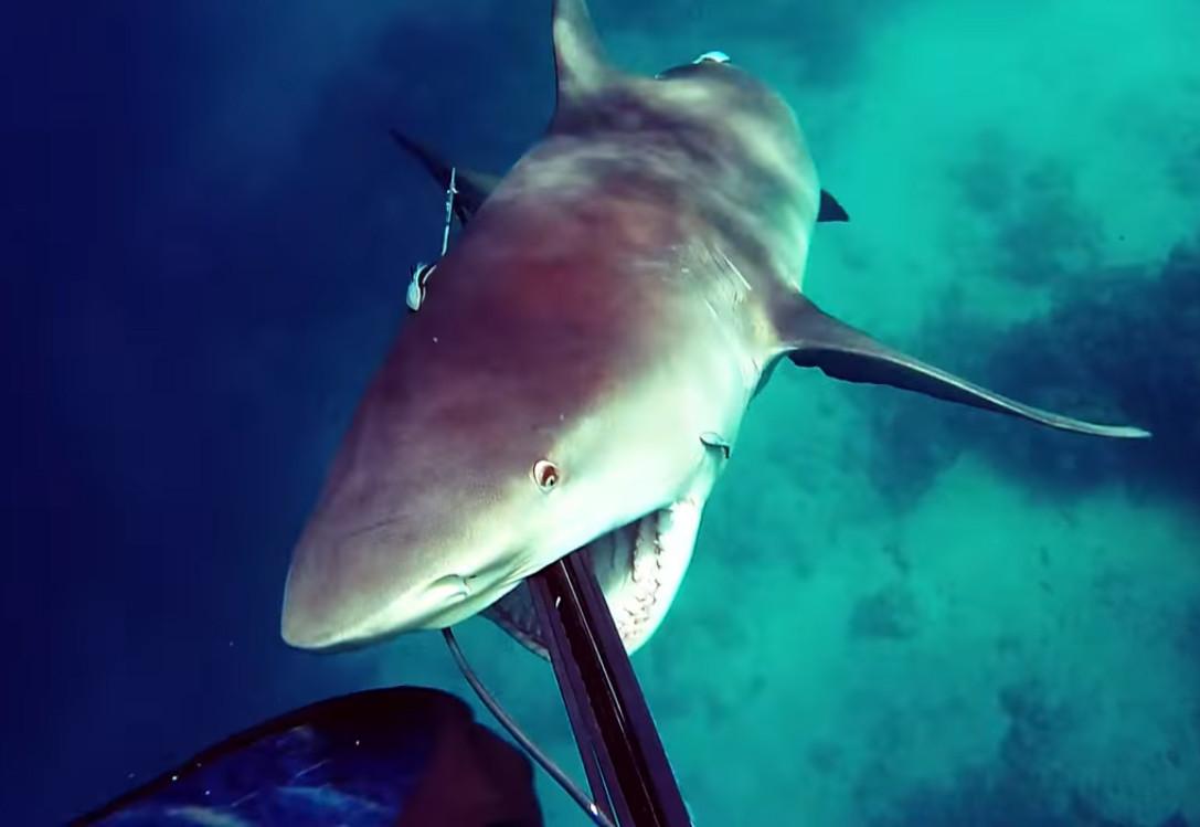 Туполырая акула напада на дайвера
