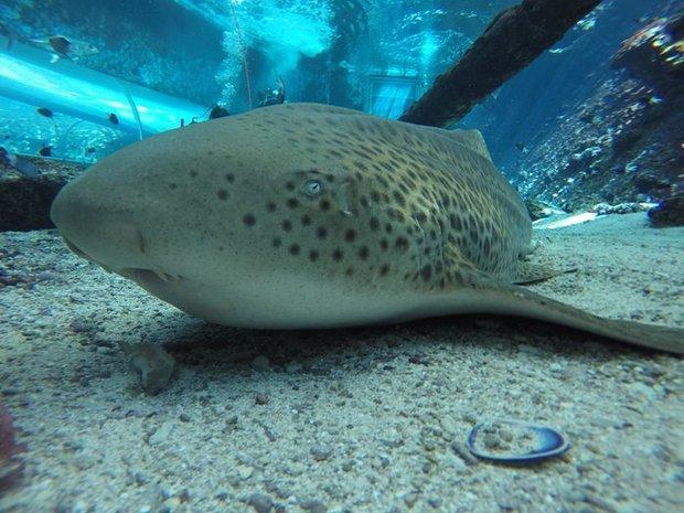 Зебровая акула произвела потомство без участия самца