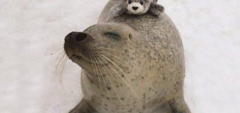 Тюлень обнимает плюшевую копию себя